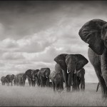 elephants-walking-through-grass